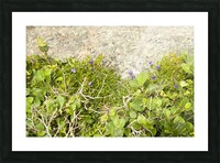 Cape Spears Flowers and vegetation  Picture Frame print