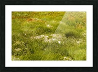 Cape Spears Flowers and vegetation 1 Picture Frame print
