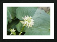 Hosta Bloom 1 Picture Frame print