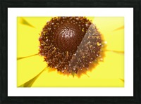 Brown eyed Susan Macro Picture Frame print