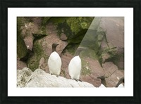 A murre pair 1 Picture Frame print