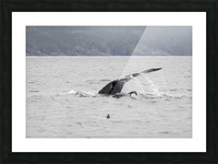 Humback whale a puffin and a murre 4 Picture Frame print