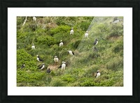 Atlantic Puffins 5 Picture Frame print