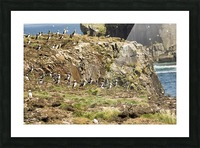 Puffins being puffins 5 Picture Frame print