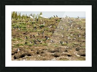Puffins being puffins Picture Frame print