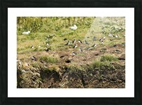 Puffins being puffins 4 Picture Frame print