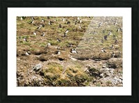 Puffins being puffins 7 Picture Frame print