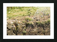 Puffins being puffins 12 Picture Frame print
