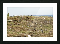 Puffins being puffins 13 Picture Frame print