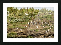 Puffins being puffins 2 Picture Frame print