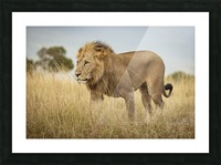 Proud King - 3 Picture Frame print