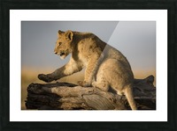 Small Step for Lionkind Picture Frame print
