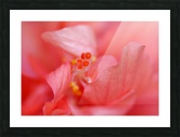 Double Peach Hibisicus Picture Frame print