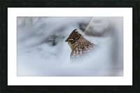 Winter Ruffed Grouse Picture Frame print