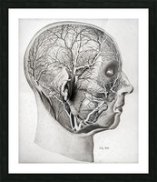 Nerves and Blood Vessels of the Head Picture Frame print