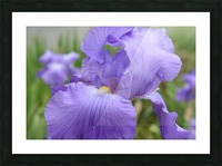 Purple Iris Photograph Picture Frame print