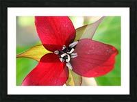 Dark Red Trillium Picture Frame print