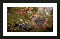 Pair of White-winged Crosbills Picture Frame print