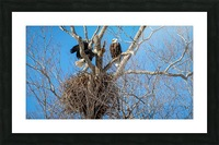Bald Eagles cleaning up old nest. Picture Frame print
