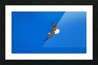 Soaring Bald Eagle Picture Frame print