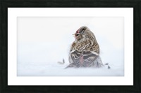 Common Redpoll Picture Frame print