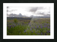 Iceland in Bloom Picture Frame print
