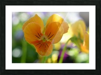 Orange Flower Photograph Picture Frame print