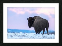Buffalo Picture Frame print