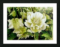 Beauty In A Lenten Rose Picture Frame print