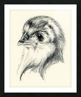 Black Australorp Chic in Charcoal Picture Frame print