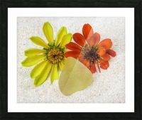 Pale yellow sea glass and zinnias Picture Frame print