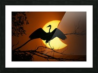 Egret Eclipse Picture Frame print