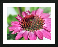 Pink coneflower  Picture Frame print