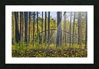 Stand of Trees Picture Frame print