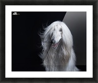Afghan Hound Portrait Picture Frame print
