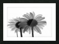 Daisies Rowing To The Left BW Picture Frame print