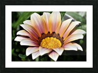 Gazania Flower Photograph in Orange and Pink Picture Frame print