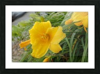 Yellow Lilly Picture Frame print