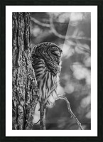 Black and white Barred Owl Picture Frame print