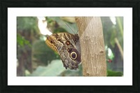 Giant Owl Butterfly on Tree Picture Frame print