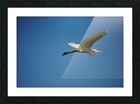 Egret Flying Picture Frame print