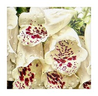 White Foxgloves with Raindrops Picture Frame print