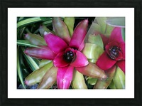 Bromeliad Picture Frame print