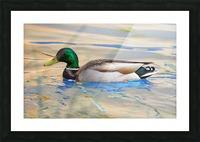 Canard Colvert Picture Frame print