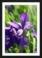 Purple Iris Impression et Cadre photo