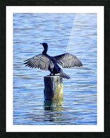 Cormorant Drying  His Wings Picture Frame print