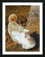 Buff Orpington Duck Preening Picture Frame print