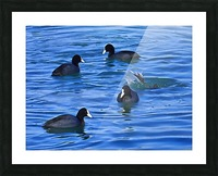 Coots Feeding Picture Frame print