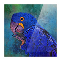 Hyacinth Macaw Picture Frame print