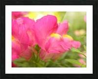 Pink Snapdragons Photograph Picture Frame print